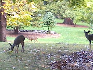 Deer in Lithia Park