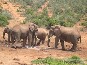 Addo Elephant National Park: elephants at Marion Baree water hole