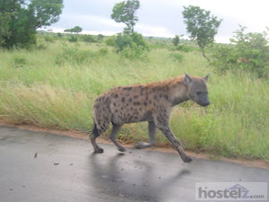 Kruger National Park: spotted hyena