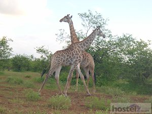 Kruger National Park: giraffes