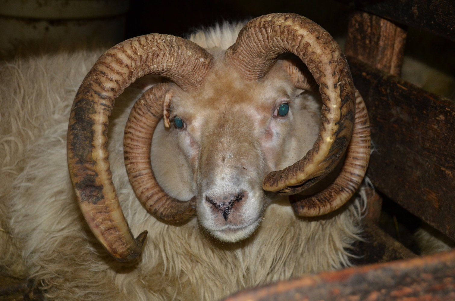 A four-horned ram at Stafafell