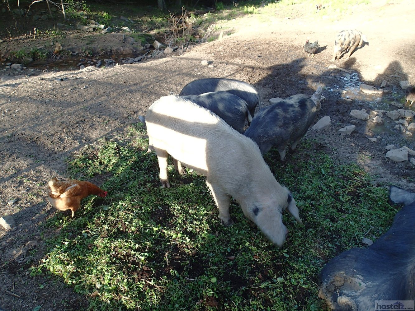 Pigs and chickens are raised at the hostel.